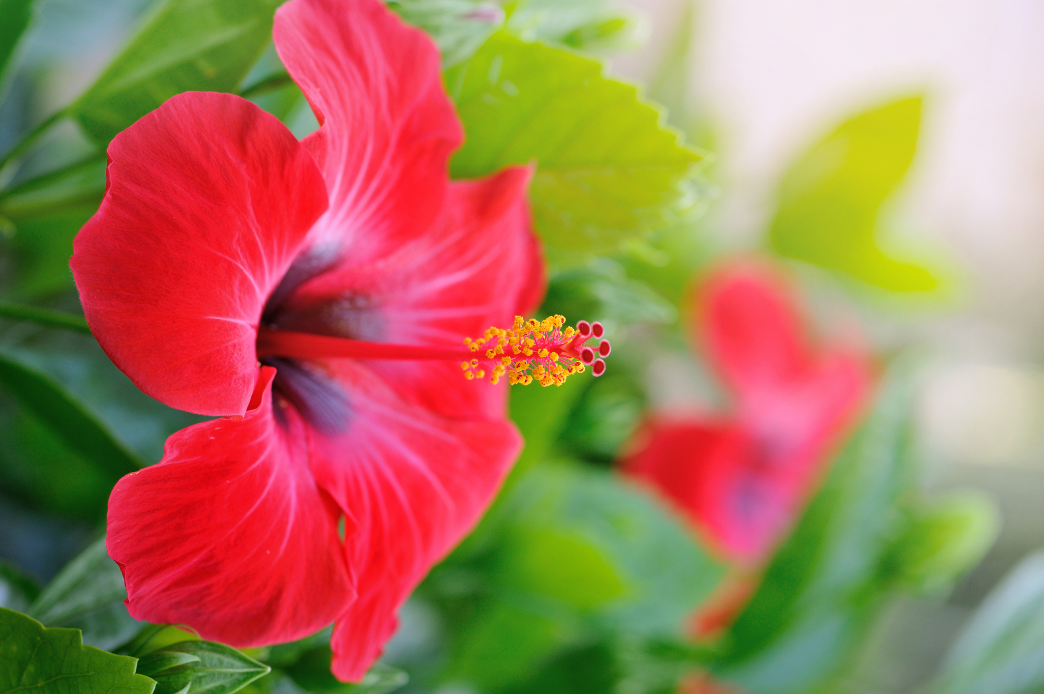 Heart Healthy Hibiscus Soothes A Bitter Heart Bastyrs Health Tips