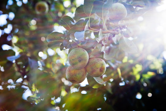Pear trees in sunlight