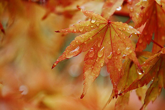 Maple leaves in rain