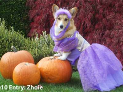 A dog dressed as a princess posing on pumpkins.