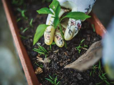 Hand with floral gardening glove planting a plant in a pot