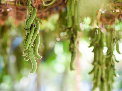 mucuna pruriens on branch