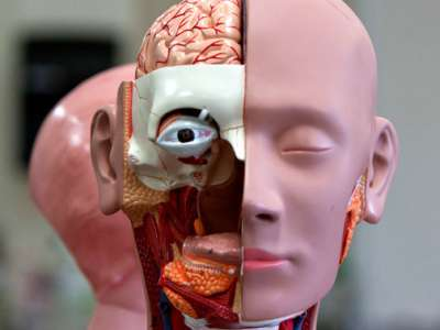 Head of anatomical model