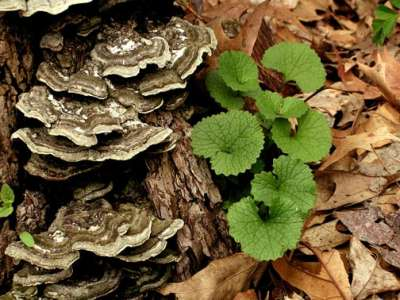 Turkey tail mushroom growing on tree