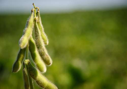 Soybeans growing on plant
