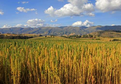 quinoa fields with mountains in background