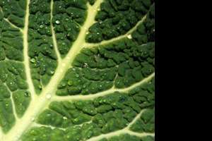 Picture of a kale leaf
