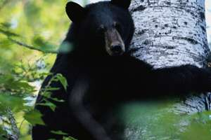 A black bear in a tree.