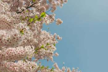 A fruit tree in blossom against a blue sky
