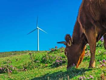 cow in field with windmill